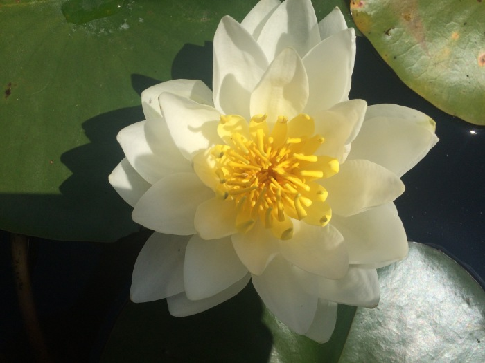 Cheryl Costello Water Lily